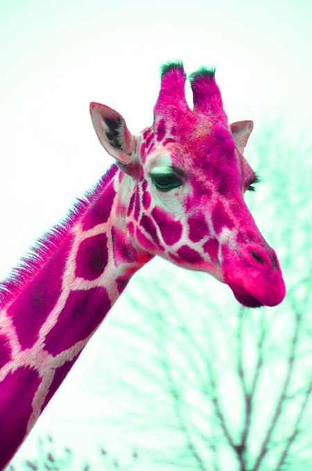 COLOREDGiraffe