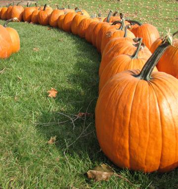Pumpkinrow